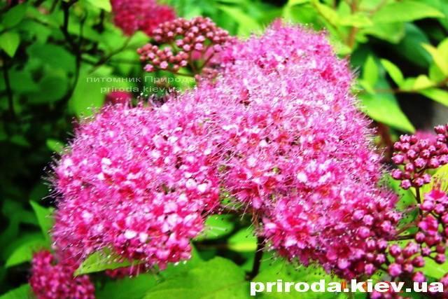 Спирея японская Голдмаунд (Spiraea japonica Goldmound) ФОТО Питомник растений Природа Priroda (26)