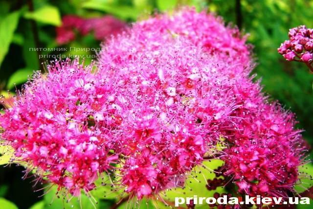 Спирея японская Голдмаунд (Spiraea japonica Goldmound) ФОТО Питомник растений Природа Priroda (24)