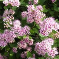 Спирея японская Литл Принцесс (Spiraea japonica Little Princess) ФОТО Питомник растений Природа Priroda