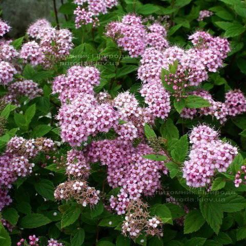 Спирея японская Литл Принцесс (Spiraea japonica Little Princess) ФОТО Питомник растений Природа Priroda (8)