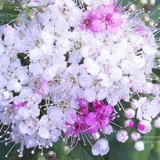 Спирея японская Дженпей Широбана (Spiraea japonica Genpei Shirobana) ФОТО Питомник растений Природа Priroda