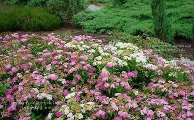 Спирея японская Дженпей Широбана (Spiraea japonica Genpei Shirobana) ФОТО Питомник растений Природа Priroda (2)