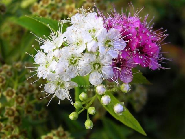 Спирея японская Дженпей Широбана (Spiraea japonica Genpei Shirobana) ФОТО Питомник растений Природа Priroda (4)
