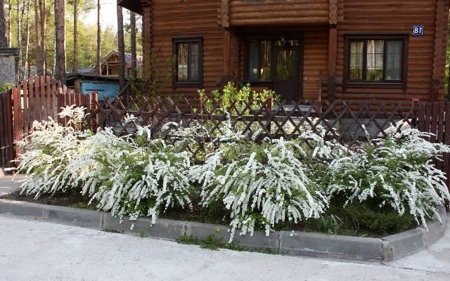 Спирея серая Грефшейм (Spiraea cinerea Grefsheim) ФОТО Питомник растений Природа Priroda (32)