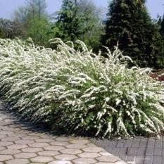 Спирея серая Грефшейм (Spiraea cinerea Grefsheim) ФОТО Питомник растений Природа Priroda