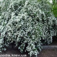 Спирея Вангутта (Spiraea vanhouttei) ФОТО Питомник растений Природа Priroda