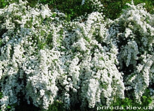 Спірея Вангутта (Spiraea vanhouttei) ФОТО Розплідник рослин Природа Priroda (29)