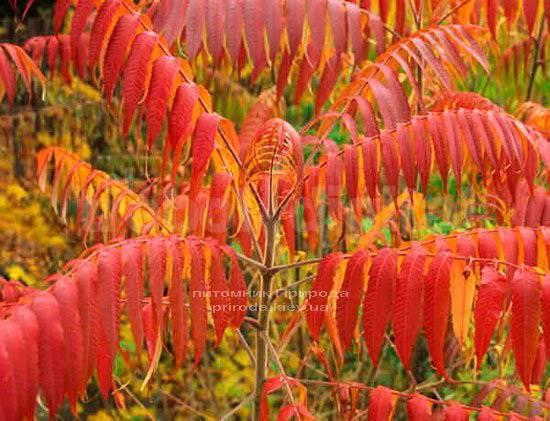 Сумах оленерогий / Уксусное дерево (Rhus typhina) ФОТО Питомник растений Природа Priroda (3)