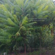 Сумах оленерогий / Уксусное дерево (Rhus typhina) ФОТО Питомник растений Природа Priroda