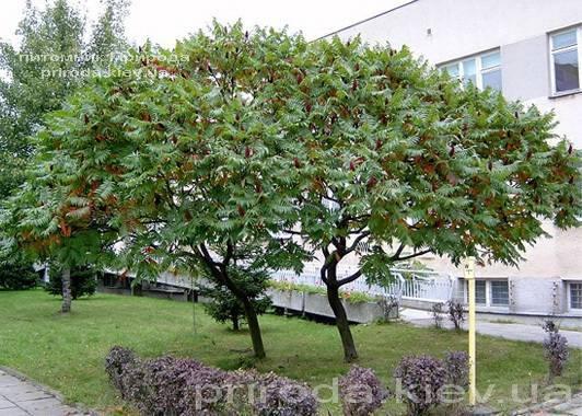 Сумах оленерогий / Уксусное дерево (Rhus typhina) ФОТО Питомник растений Природа Priroda (7)