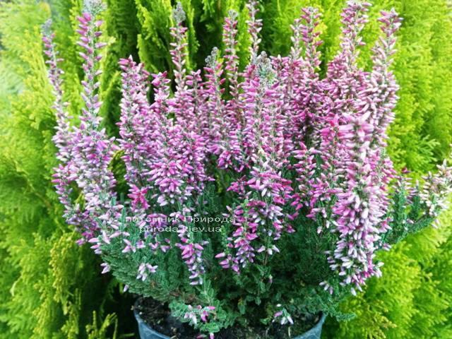 Вереск обыкновенный (Calluna vulgaris) ФОТО Питомник растений Природа Priroda (1)