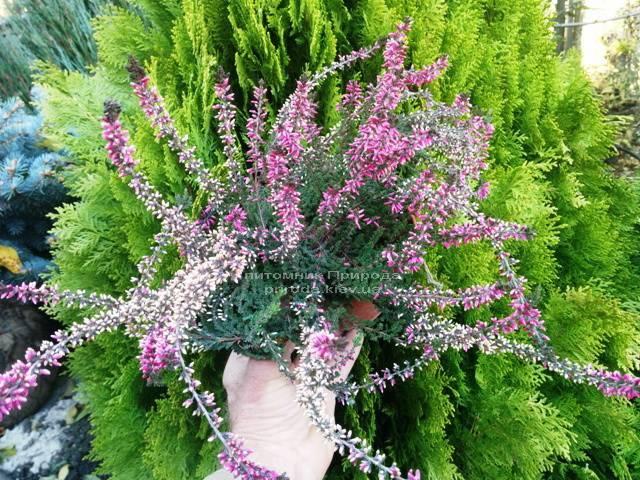 Вереск обыкновенный (Calluna vulgaris) ФОТО Питомник растений Природа Priroda (12)