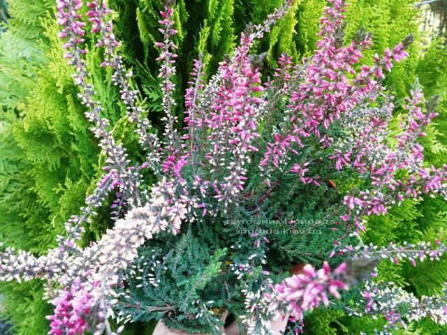 Вереск обыкновенный (Calluna vulgaris) ФОТО Питомник растений Природа Priroda (13)