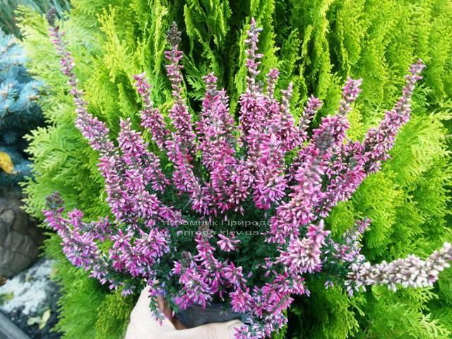 Вереск обыкновенный (Calluna vulgaris) ФОТО Питомник растений Природа Priroda (2)