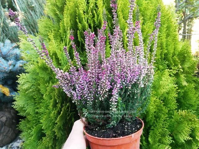 Вереск обыкновенный (Calluna vulgaris) ФОТО Питомник растений Природа Priroda (5)