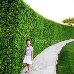 Живая изгородь из Граба обыкновенного ФОТО Питомник растений Природа Priroda (1)