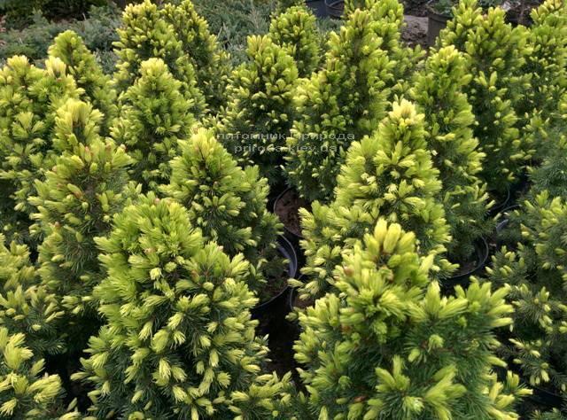 Ель канадская сизая Дэйзиз Уайт (Picea glauca Daisys White) ФОТО Питомник растений Природа Priroda (121)