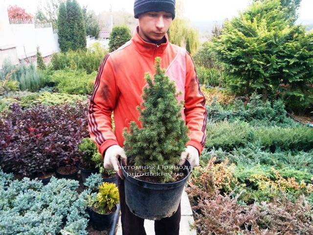 Ель канадская сизая Дэйзиз Уайт (Picea glauca Daisys White) ФОТО Питомник растений Природа Priroda