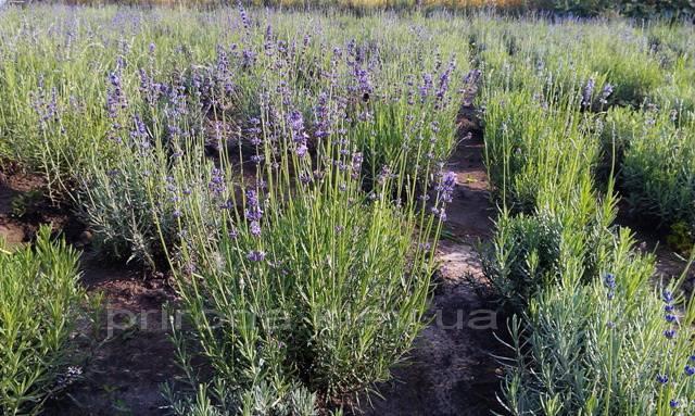 Лаванда (Lavandula) ФОТО Питомник растений Природа Priroda (3)