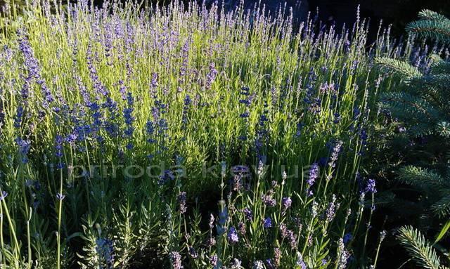 Лаванда (Lavandula) ФОТО Питомник растений Природа Priroda (6)