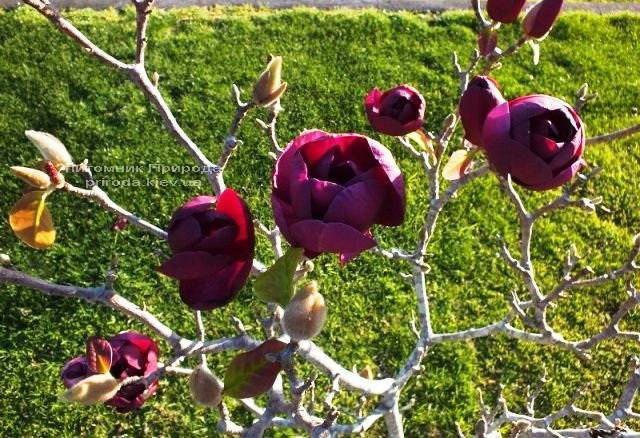 Магнолия Блэк Тюлип (Magnolia Black Tulip) ФОТО Питомник растений Природа Priroda