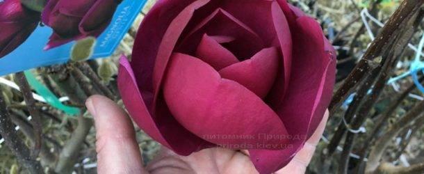 Магнолия Блэк Тюлип (Magnolia Black Tulip) ФОТО Питомник растений Природа Priroda (70)