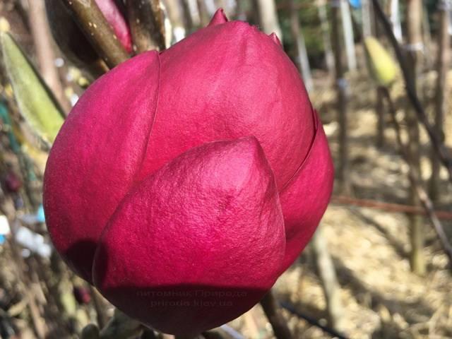Магнолия Блэк Тюлип (Magnolia Black Tulip) ФОТО Питомник растений Природа Priroda (71)