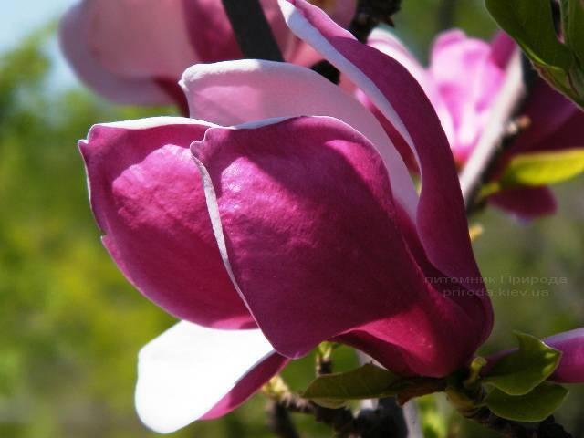 Магнолия March till Frost ФОТО Питомник растений Природа Priroda (41)
