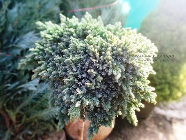 Можжевельник чешуйчатый Блю Стар на штамбе ФОТО Питомник растений Природа Priroda