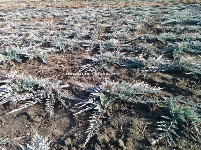 Можжевельник горизонтальный Блю Чип / Блу Чип (Juniperus horizontalis Blue Chiр) ФОТО Питомник растений Природа Priroda