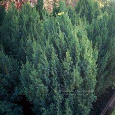 Можжевельник китайский Стрикта ( Juniperus chinensis Stricta ) ФОТО Питомник декоративных растений Природа Priroda (122)