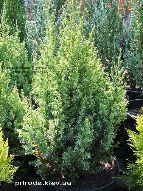 Можжевельник китайский Стрикта ( Juniperus chinensis Stricta ) ФОТО Питомник декоративных растений Природа Priroda (123)