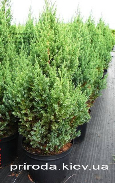 Можжевельник китайский Стрикта ( Juniperus chinensis Stricta ) ФОТО Питомник декоративных растений Природа Priroda (124)