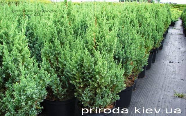 Можжевельник китайский Стрикта ( Juniperus chinensis Stricta ) ФОТО Питомник декоративных растений Природа Priroda (125)