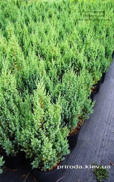 Можжевельник китайский Стрикта ( Juniperus chinensis Stricta ) ФОТО Питомник декоративных растений Природа Priroda (126)