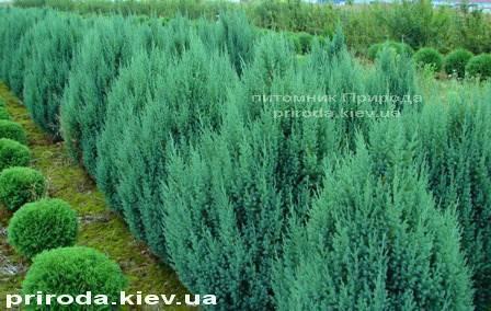 Можжевельник китайский Стрикта ( Juniperus chinensis Stricta ) ФОТО Питомник декоративных растений Природа Priroda (128)