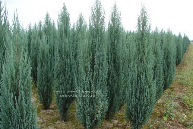 Можжевельник скальный Блю Арроу/Блю Эрроу (Juniperus scopolorum Blue Arrow) ФОТО Питомник растений Природа Priroda (104)