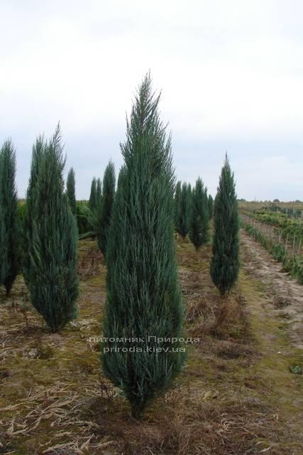Можжевельник скальный Блю Арроу/Блю Эрроу (Juniperus scopolorum Blue Arrow) ФОТО Питомник растений Природа Priroda