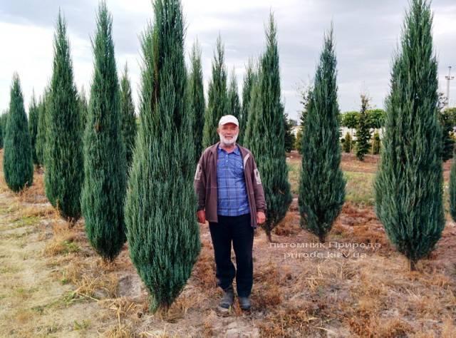 Ялівець скельний Блю Арроу / Блю Ерроу (Juniperus scopolorum Blue Arrow) ФОТО Розплідник рослин Природа Priroda