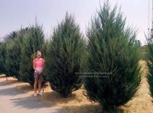 Можжевельник скальный Скайрокет (Juniperus scopulorum Skyrocket) ФОТО Питомник растений Природа Priroda (121)