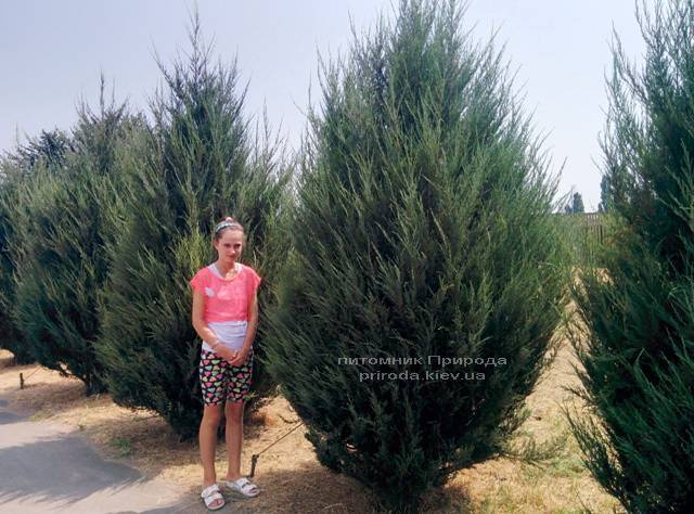 Можжевельник скальный Скайрокет (Juniperus scopulorum Skyrocket) ФОТО Питомник растений Природа Priroda