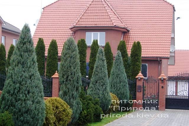 Можжевельник скальный (Juniperus scopulorum) ФОТО Питомник декоративных растений Природа Priroda