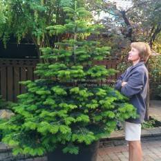Пихта Нордмана/кавказская (Abies Nordmanniana) ФОТО Питомник растений Природа Priroda (17)