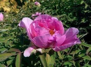Пион древовидный ФОТО Питомник растений Природа Priroda (1)