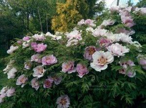 Пион древовидный ФОТО Питомник растений Природа Priroda (14)