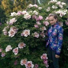 Пион древовидный ФОТО Питомник растений Природа Priroda