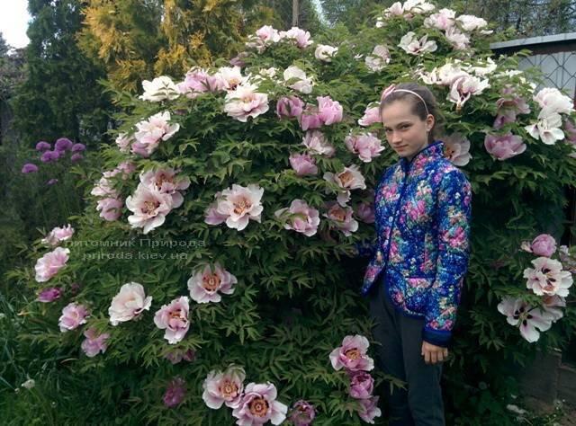 Пион древовидный ФОТО Питомник растений Природа Priroda (21)
