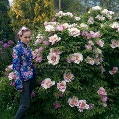 Пион древовидный ФОТО Питомник растений Природа Priroda (22)