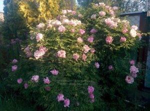 Пион древовидный ФОТО Питомник растений Природа Priroda (4)