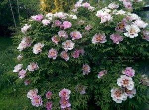 Пион древовидный ФОТО Питомник растений Природа Priroda (7)